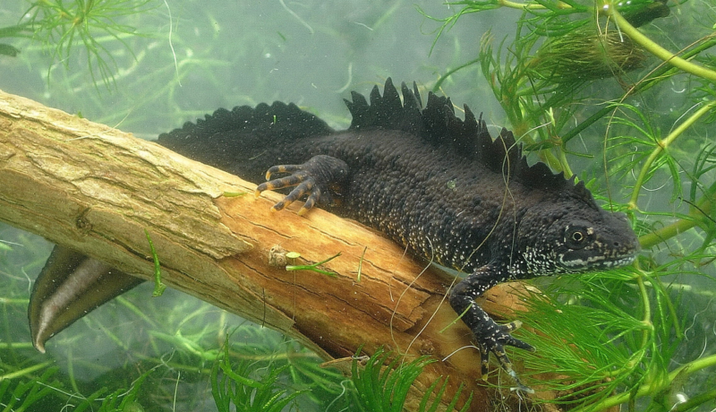 We're working with Network Rail to protect great crested newts